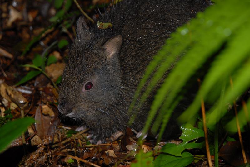 アマミノクロウサギの画像 p1_31